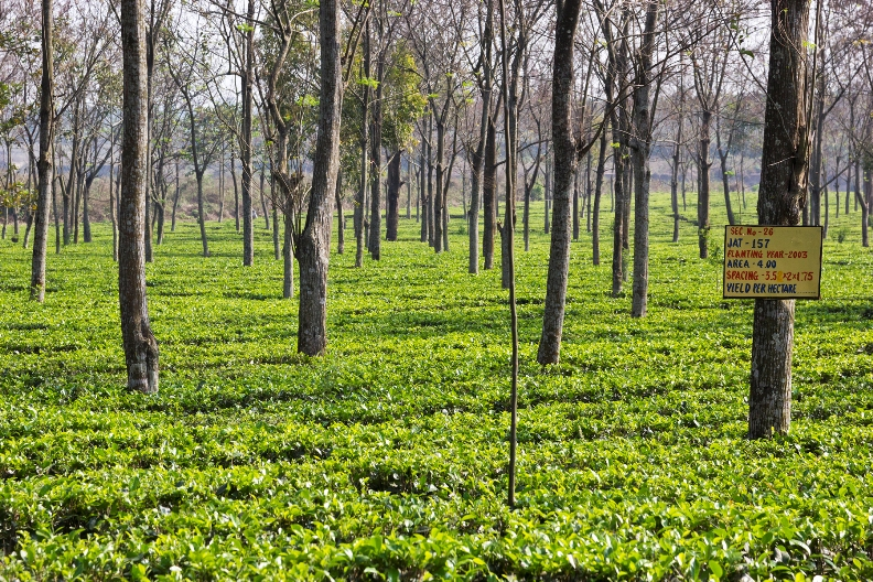 Darjeeling First Flush Rohini Jethi Kupi White 2021